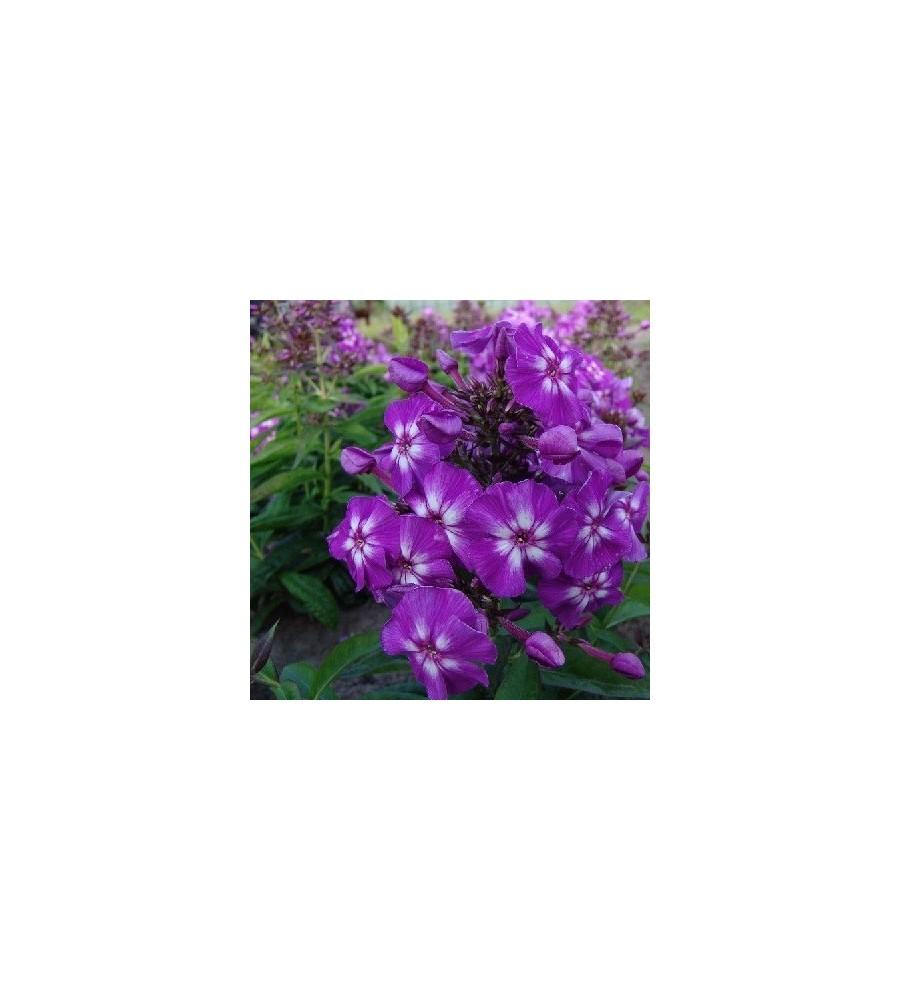 Phlox paniculata Adessa Special Purple Star / Høstfloks