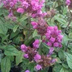 Prunella grandiflora Inshriach Ruby - Brunelle