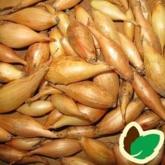 Bananløg - Aflang Zittauer - Sætteløg 250 gram