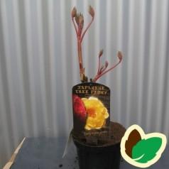 Træpæon Gul - Paeonia suffruticosa Yellow