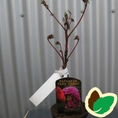 Træpæon Lilla - Paeonia suffruticosa Purple