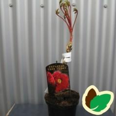 Træpæon Rød - Paeonia suffruticosa Red