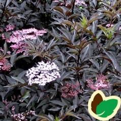 Sambucus nigra Black Beauty - Rødbladet Hyld