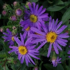 Aster amellus King George / Amellusasters