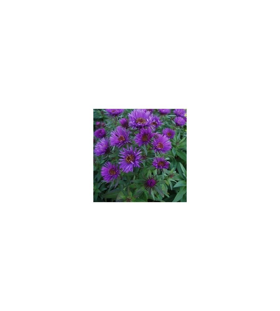 Aster novae-angliae Purple Dome / Høstasters