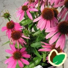 Echinacea purpurea Mistral / Solhat