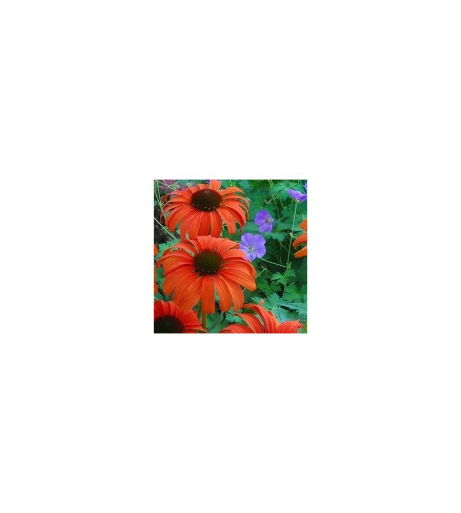 Echinacea purpurea Tangerine Dream / Solhat