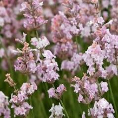 Lavandula angustifolia Hidcote Pink / Lavendel