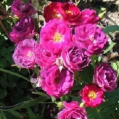 Rose Blackberry Nip - Storblomstret Rose