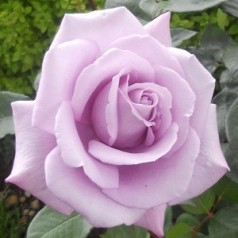 Rose Twice in a Blue Moon / Storblomstret Rose