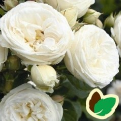 Rose Artemis / Buskrose