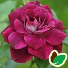 Rose Burgundy Ice / Buketrose