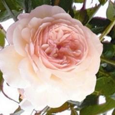 Rose A Shropshire Lad - Engelsk Slyngrose