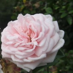 Rose Awakening / Rankerose