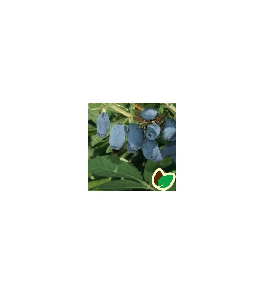 Honningbær - Majbær / Lonicera kam. Blue Velvet