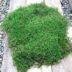 Mos skovmos - Pyntegrønt