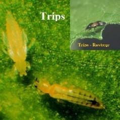 Biologisk bekæmpelse af Trips - Tripsrovtæger / 1015