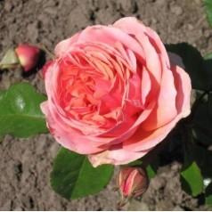 Rose Chippendale - Storblomstret Rose