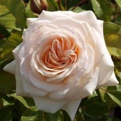 Rose Marvellous - Storblomstret Rose