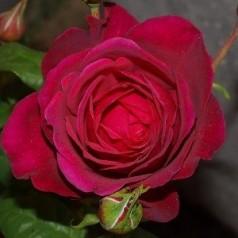 Rose Tantau Rose Goethe - Storblomstret Rose