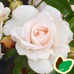 Rose Aspirin Rose - Buketrose rose