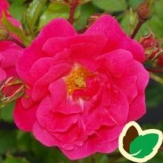 Rose Heidetraum - Bunddækkende rose