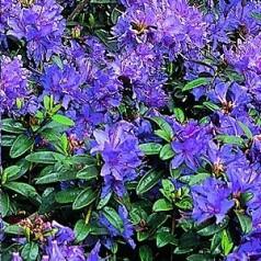 Dværg Rhododendron Gristede