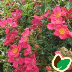 Rose Tommelise - Bunddækkende rose