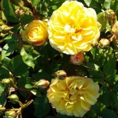 Rose Golden Eye Cover - Bunddække rose Towne- og Country