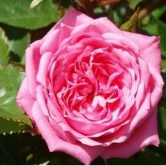 Rose Boogie-Woogie - Slyngrose Courtyard Climber