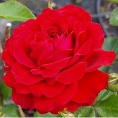 Rose Grand Award - Slyngrose Courtyard Rambler