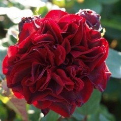 Rose Nadia Renaissance - Renaissancerose / Barrods