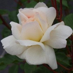 Rose Prosperity - Historisk rose / Barrods