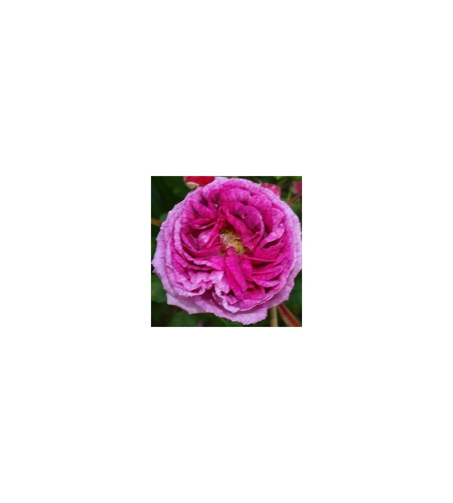 Rose Tour de Malakoff - Historisk Rose / Barrods