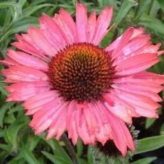 Echinacea purpurea Pink Passion / Solhat
