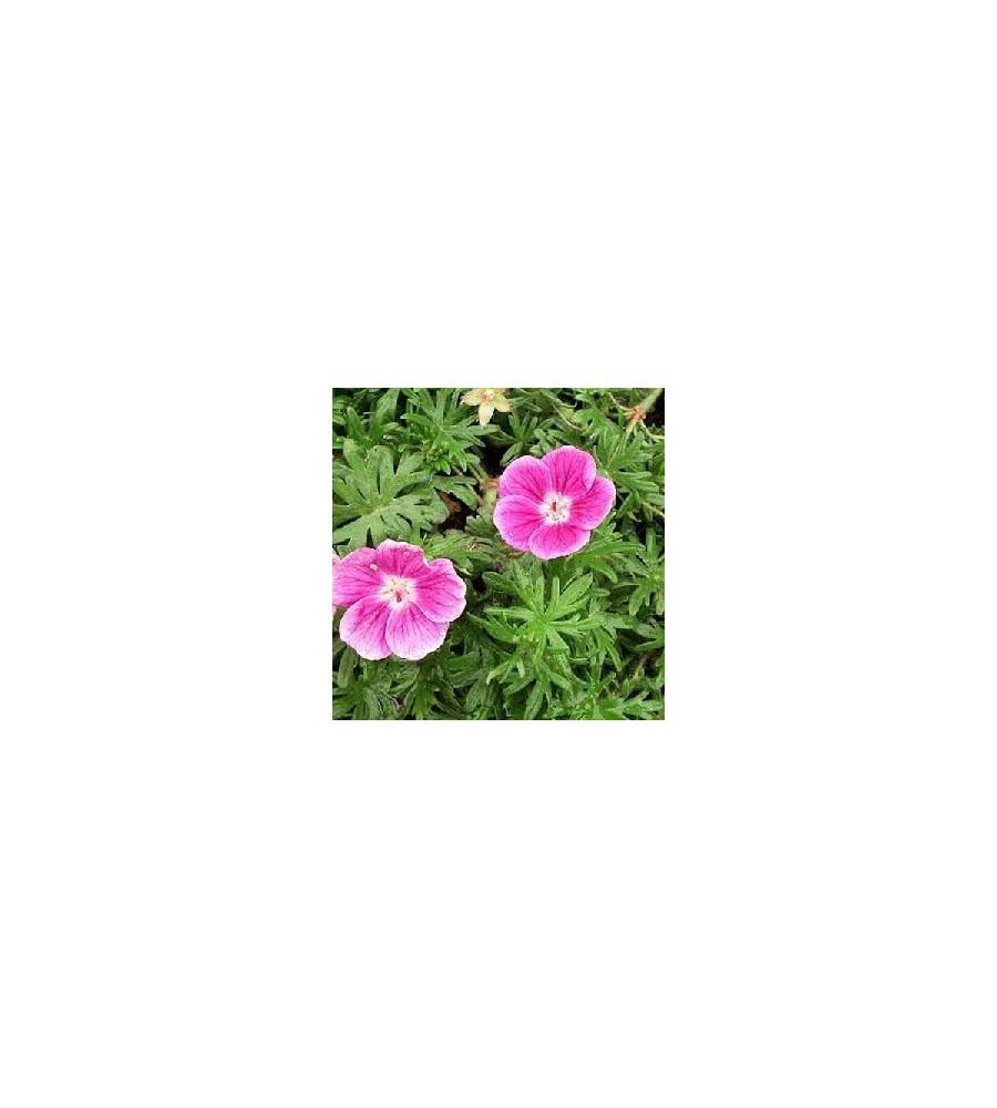 Geranium sanguineum Elke - Storkenæb