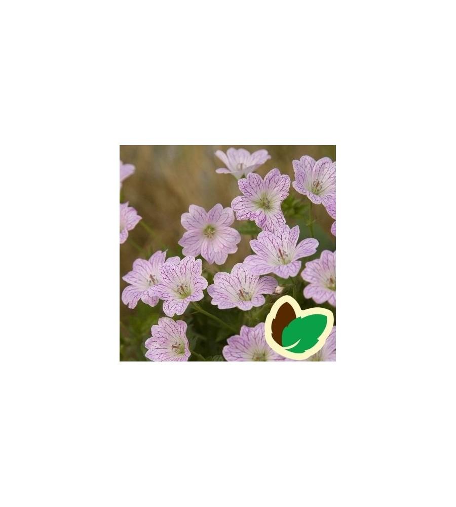 Geranium versicolor - Storkenæb