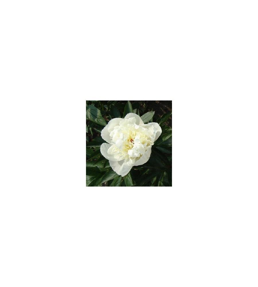 Paeonia lactiflora Immaculee - Silkepæon