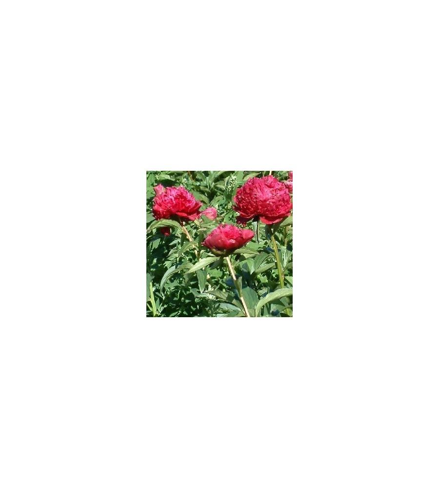 Paeonia lactiflora Inspectuer Lavergne - Silkepæon