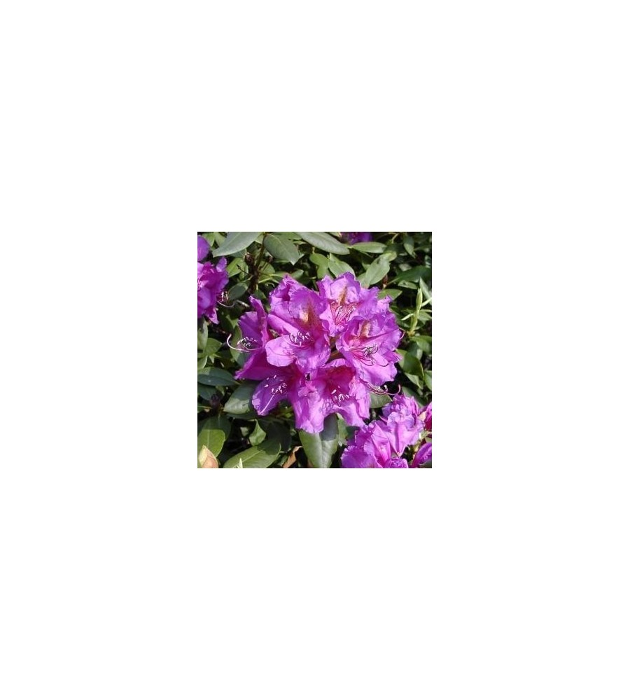 Rhododendron hybrid Lees Dark Purple