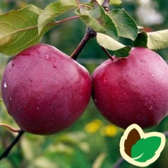 Æbletræ Redlove Circe