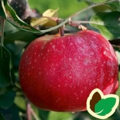 Æbletræ Redlove Era