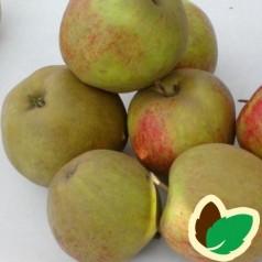 Æbletræ Dronning Louise