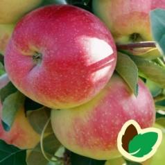 Æbletræ Julka