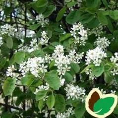 Amelanchier spicata - Bærmispel / 10 stk. 50-80 cm. barrods