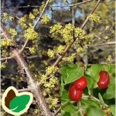 Kirsebærkornel 50-80 cm. - Bundt Med 10 Stk. Barrodsplanter - Cornus mas*