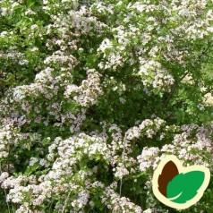 Hvidtjørn 60-100 cm. - Bundt med 10 stk. barrodsplanter - Crataegus monogyna _