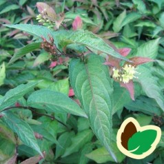 Diervilla Disa 40-60 cm. - Bundt med 10 stk. barrodsplanter - Diervilla sessilifolia Disa _