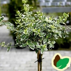 Euonymus fortunei Emerald Gaiety / 80 cm. stamme.