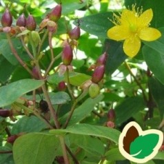 Hypericum hircinum Loke - Duftende Perikon